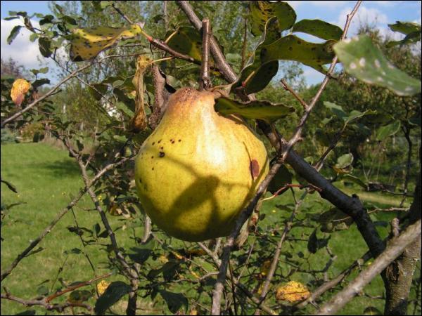 Dans la Grèce antique, le coing, appelé aussi pomme d'or, symbolisait la fertilité. Les jeunes mariés en croquaient un bout avant de pénétrer dans la chambre nuptiale. L'arbre à coing s'appelle :