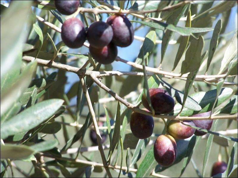 Récoltées en novembre, les olives vertes sont cueillies avant de mûrir, les olives noires après maturation. Parmi ces diverses appellations, laquelle n'est pas une olive ?