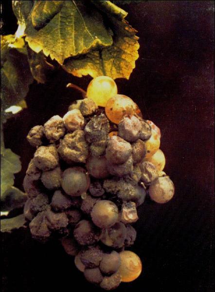 Responsable de 20 % des pertes de récolte, le champignon Botrytis cinerea se développe sur les baies de raisin. Sous certains climats, il permet de produire des vins liquoreux. On l'appelle alors :