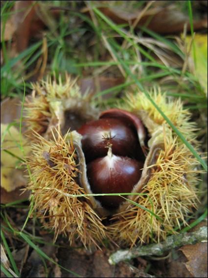 La châtaigne était autrefois un aliment de base. Dans les Cévennes et le Limousin, le châtaignier était appelé :