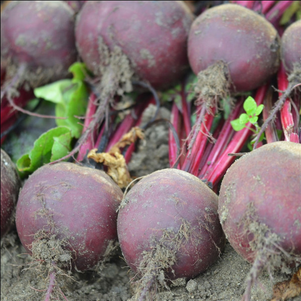 La famille de plantes à fleurs Amaranthaceae, cultivées pour leurs racines, est généralement appelée...
