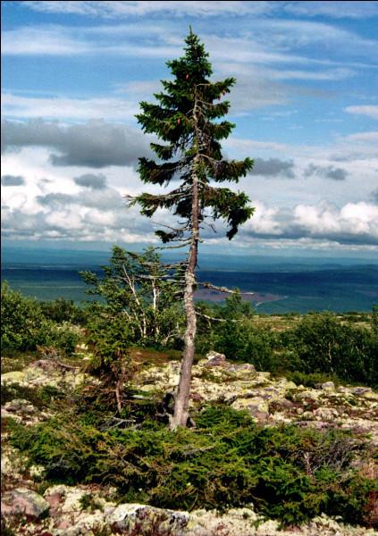 Old Tjikko est un arbre vieux de 9 550 ans, à quelle espèce appartient-il ?