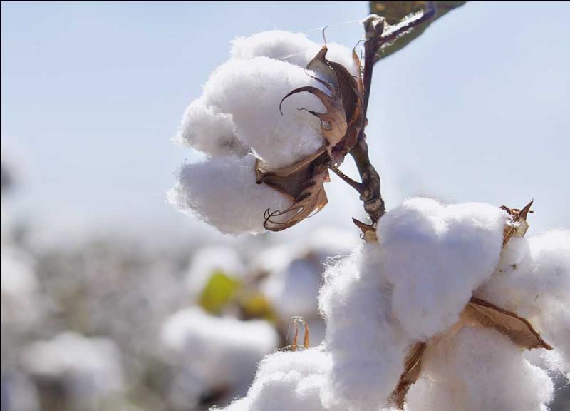 Quel pays est le plus grand exportateur de coton ?