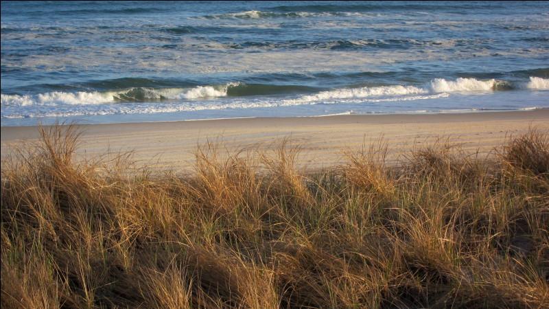 Quel est le nom de cette herbe qui se développe dans les dunes de sable ?