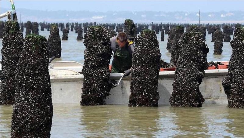 Par quel mot désigne-ton l'élevage des moules ?