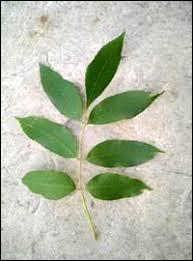 A quel arbre appartient cette feuille ?
