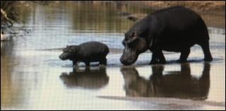 Les hippopotames peuvent rester sous l'eau durant...