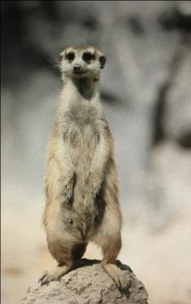 Le suricate vit...