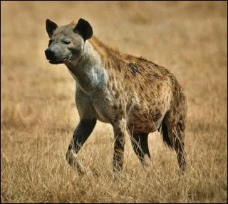 Une hyène est...