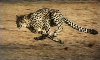 Quel est l'animal le plus rapide de la savane ?