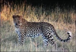 Le léopard peut-il monter aux arbres ?