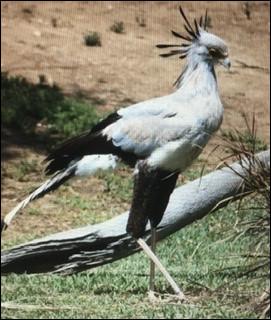 L'oiseau secrétaire est...