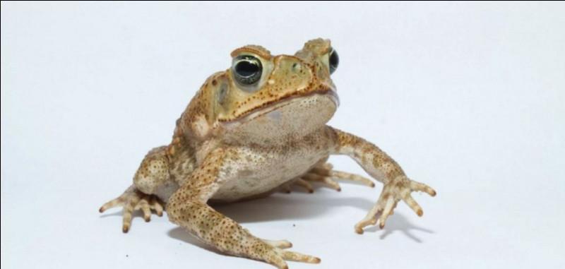 Ceci serait une grenouille.