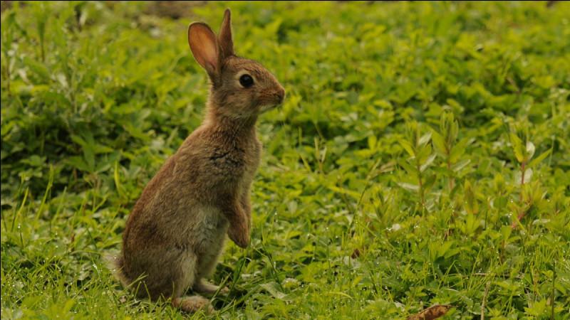 Mais celui-là c'est sûr c'est un lapin.