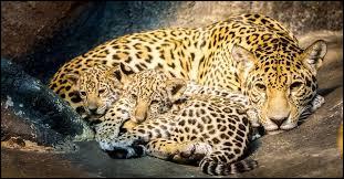 Est-ce plutôt un léopard ou un jaguar ?