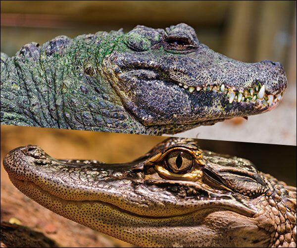 Pouvez-vous me dire si vous savez où est le crocodile ?