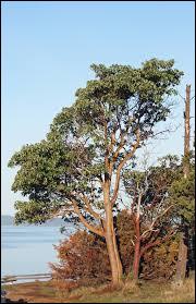 Originaire de l'Ouest de l'Amérique du Nord, l'arbutus menziesii peut atteindre 30 mètres de hauteur.