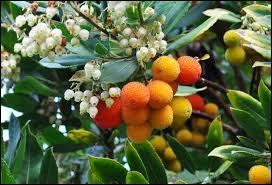 Comment s'appelle les fruits de l'arbousier ?