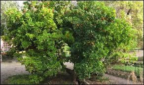 Le fruit de l'arbousier est-il comestible ?