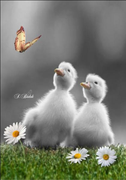 Dans le conte d'Andersen, quel animal était finalement le vilain petit canard ?