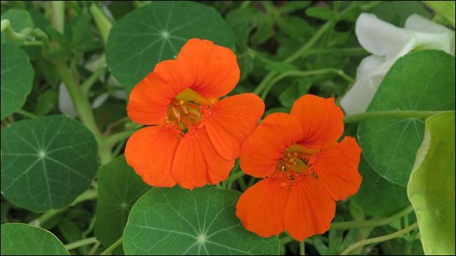 Cette fleur a un rapport avec une comptine, alors ... demandez à la voisine !