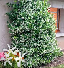 Cette plante est-elle rustique ?
