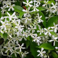 Plante (18) - Jasmin étoilé