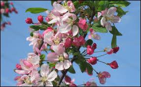 Quel est le type de feuille du pommier en fleur ?