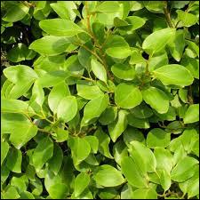 La griseline est une plante utilisée et appréciée par son joli feuillage vert est :