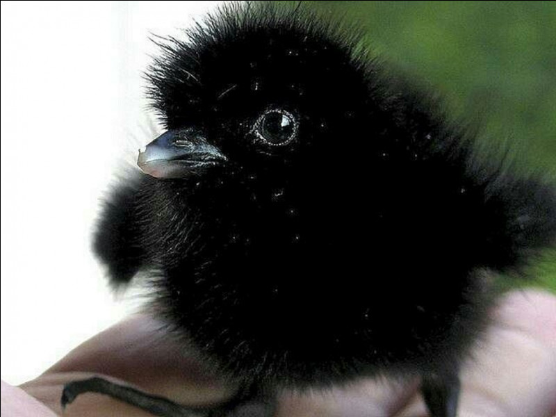 Quel est celui du petit du corbeau ?