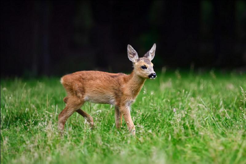 Quel est celui du petit du cerf, du daim ou du chevreuil ?