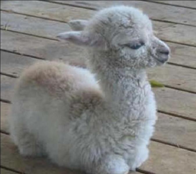 Celui du lama a un nom peu commun, quel est-il ?