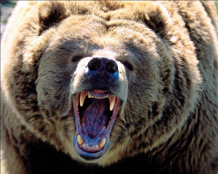 """Que veut dire l'expression """"comme un ours en cage"""" ?"""
