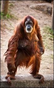 Ce singe est...