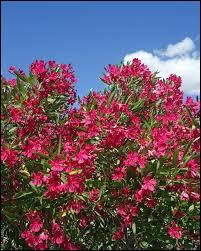 Le laurier rose peut donner des fleurs, rouges, roses et blanches.