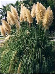 L'herbe de la pampa ou encore les cheveux d'ange sont des graminées.