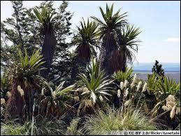 La différence entre le lin de Nouvelle-Zélande et la cordyline est que le lin ne donne pas de tronc.