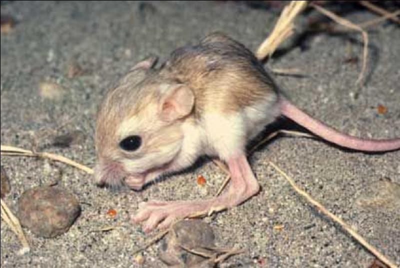 Si je vous dis qu'il est présent dans la vallée de la Mort, dans quel État des USA peut-on observer le rat-kangourou ?