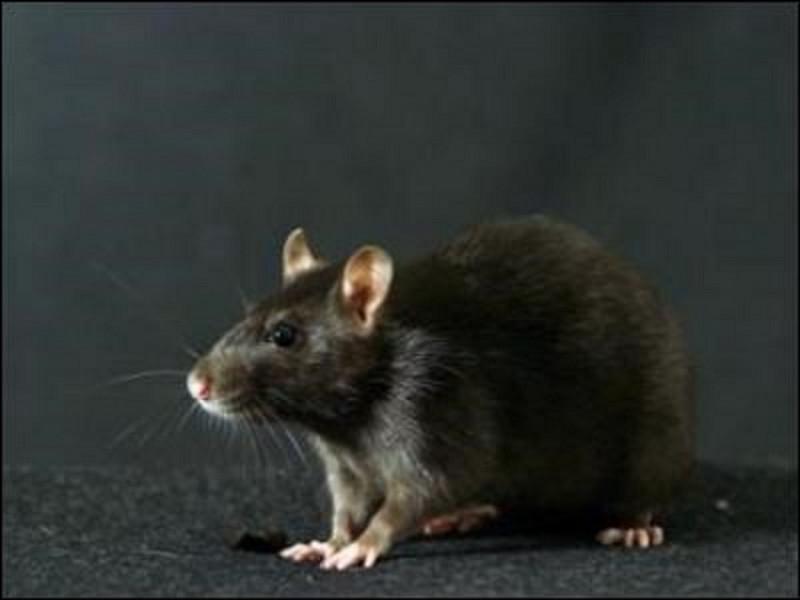 Dans quel roman peut-on rencontrer le rat ''Croûtard'' ?