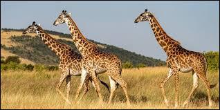 À l'état sauvage, où vivent les girafes ?
