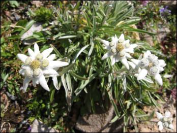 Quelle est cette plante de montagne avec des feuilles feutrées et des fleurs blanches à capitules jaunes ?