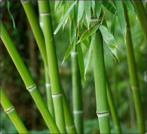 ''Bambou'' est un tube d'...