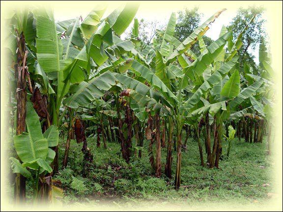 Bananier des Philippines dont les feuilles fournissent une matière textile, le chanvre de Manille :