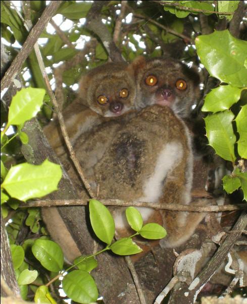 Lémurien des forêts humides de Madagascar :