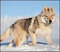 Quel est le nom latin (scientifique) du loup ?
