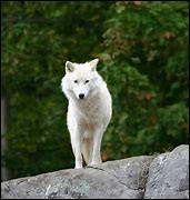 Les loups ont peur des hommes, vrai ou faux ?