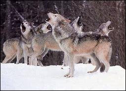 Combien d'individus comporte une meute de loup ? (en moyenne)