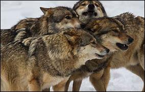 Dans une meute, combien y a-t-il de loups alpha ?
