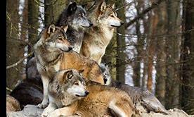 Connais-tu vraiment bien les loups ?