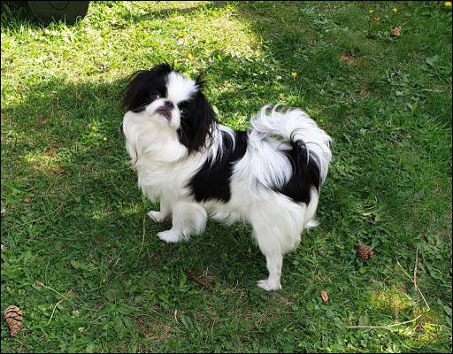 Quel est ce petit chien à la queue couverte d'un beau poil long et abondant portée sur le dos ?